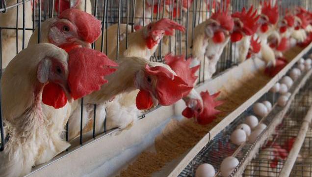 økologiske æg buræg