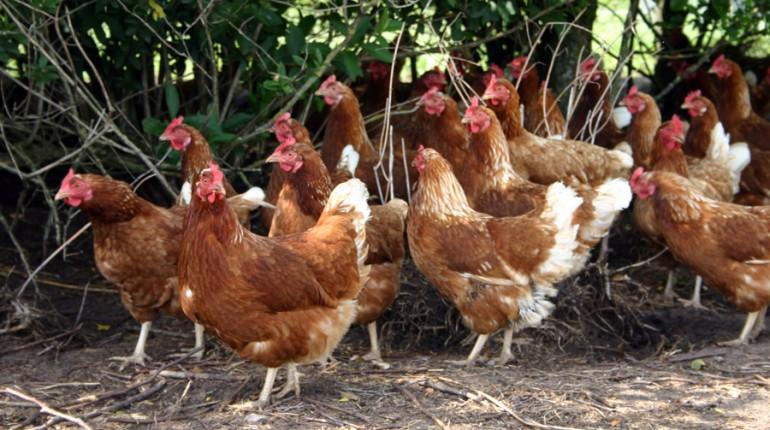 fugleinfluenza høns